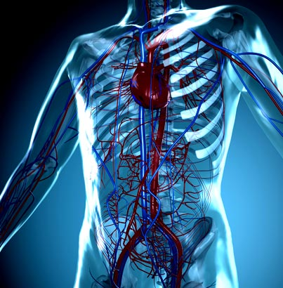 vascular-system